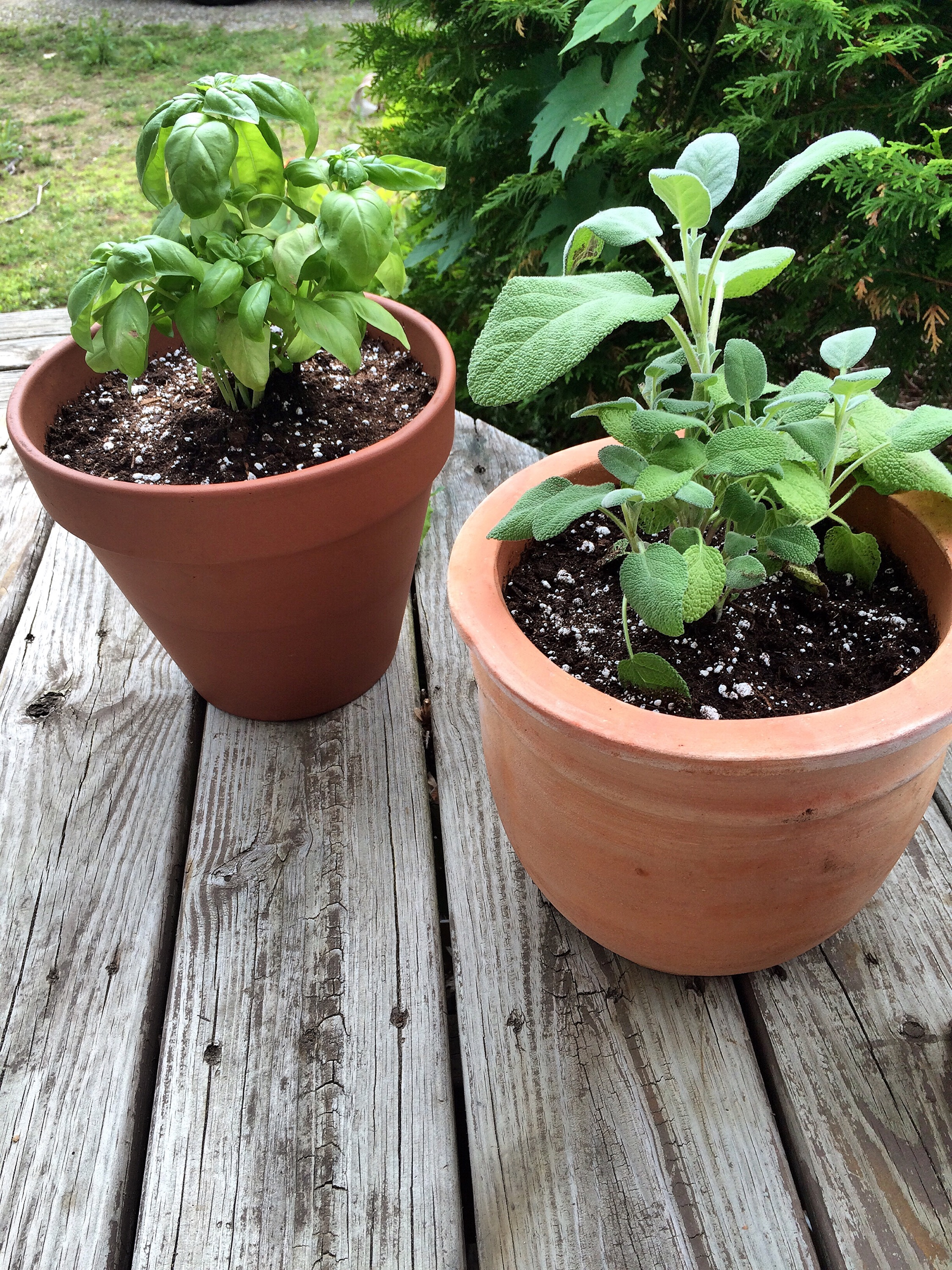 basil and sage plants